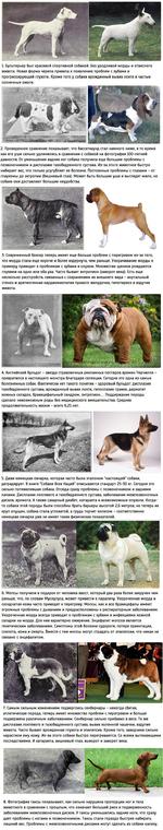 1.Бультерьер был красивой спортивной собакой. Без уродливой морды и отвислого живота. Новая форма черепа привела к появлению проблем с зубами и прогрессирующей глухоте. Кроме того у собаки врожденный вывих локтя и частые солнечные ожоги. 2.Проведенное сравнение показывает, что бассетхаунд стал