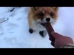 Лиса и сникерс / Fox and Snickers,People,,Deiz.by - интернет-магазин Минска