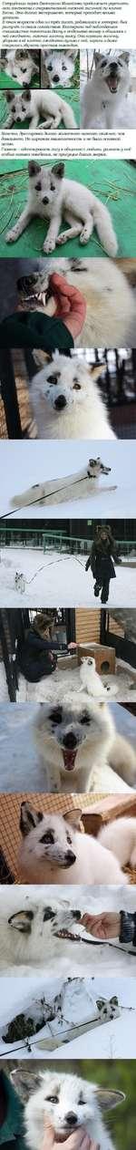 Сотрудница парка Екатерина Михайлова продолжает укреплять с очаровательной снежной лисичкой по кличке Весна. Это долгий эксперимент, который проходит весьма успешно. В юном возрасте один из трёх лисят, родившихся в зоопарке был разлучен со своим семейством. Екатерина под наблюдением специалистов