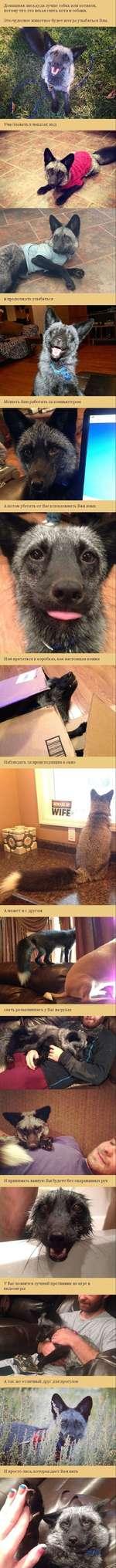 Домашняя лиса,куда лучше собак или котиков, потому что это некая смесь кота и собаки. Это чудесное животное будет всегда улыбаться Вам. Участвовать в показах мод и продолжать улыбаться Мешать Вам работать за компьютером А потом убегать от Вас и показывать Вам язык Или прятаться в коробках, ка