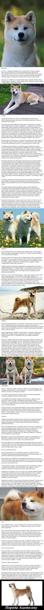 Вступление Акиту-ину - старейшая и важнейшая японская порода собак. Это животное породило вокруг себя целую субкультуру и выполняет важнейшую функцию национальной идентификации Японии. В честь этих собак жители страны Восходящего солнца возводят памятники, пишут песни и детские книги. Порода собак