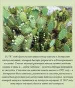 В 1787 году бразильские переселенцы завезли в Аестрачию кактус-опунцию, которая быстро разрослась в благоприятном климате. Сочные зеленые растения начат охотно поедать коровы и овцы и... гибли сотнями - колючки опунцииразрыеачи их желудки. Спасение от напасти нашли только в 1925 году - в Аестрачию