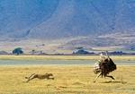 Гепард бежит за страусом
