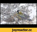 Parus major hunted down Carduelis flammea in Finland,Pets & Animals,Parus,Carduelis,hunting,zoology,kill,An example how the ecological pressure can lead to suprising innovations in animal bahaviour. Video by wildlife photographer Lassi Kujala.
