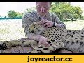 Massaging A Cheetah To Sleep | Masseur For Big Cat Falls Asleep In Man's Arm | Ultimate Relax ASMR,Pets &