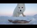 Песец: продолжение! (Песец и его подруга),Howto & Style,Песец,Наглый песец,Хитрый песец,Песец и мойва,Песец и рыбак,Arctic fox,Зимняя рыбалка,Рыбалка,Писец,Ильдар Биктимиров,Ильдар,Биктимиров,Ildar,Biktimirov,Храбрый песец,Песец и рыба,Муравленко,Ямал,wild animals,Cheeky Arctic fox,песец украл рыбу,