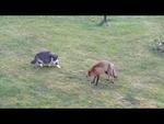 Cat vs Fox , Кот прогоняет лису,Animals,,Cat vs Fox , Кот прогоняет лису ,